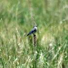 Mountain Bluebird (female)