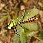 Spotted Locust