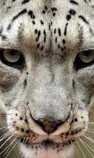 Snow Leopard Free HD LWP - screenshot