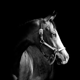 horse in B&W by Alessandra Cassola - Animals Horses ( #black & white, #riding horse, #horses, #horse, black and white, animal )