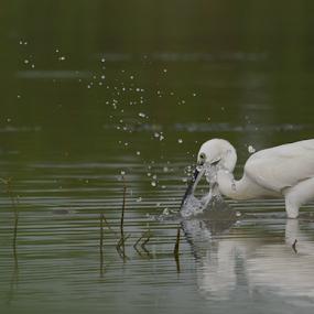 Egret by Yogesh Kumar - Animals Birds ( water, green, spalsh, pond, egret )