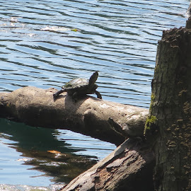 Turtle on the Lily Pond by Marcia Taylor - Novices Only Wildlife (  )