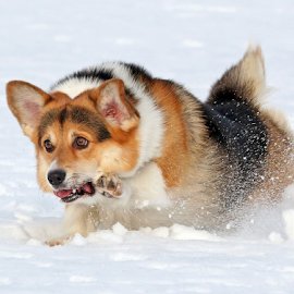 Determined by Mia Ikonen - Animals - Dogs Running ( action, pembroke welsh corgi, finland, fun, cute )
