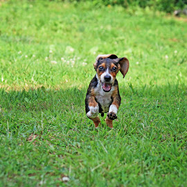 Barnabus! by Liv Hooker - Animals - Dogs Running ( barnabus and collin, puppy, beagle )