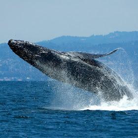 Humpback Whale breaching (6).jpg