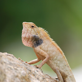 by Weng Chun Birding Tour - Animals Reptiles