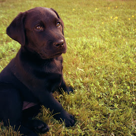 Blanka by Kajsa Karlsson - Animals - Dogs Puppies ( grass, green, puppy, cute, labrador, black,  )