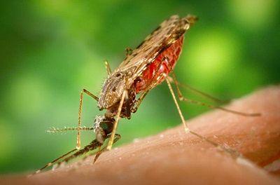 400px-Anopheles_albimanus_mosquito.jpg