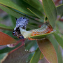 Bottlebrush Sawfly larva -molting