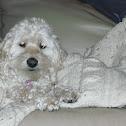 cocker poodle