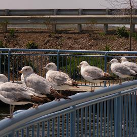 Gull Gathering by Scott Foster - Novices Only Wildlife