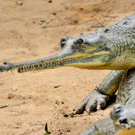 Togetherness by Bhaskar Trivedi - Animals Reptiles ( alligator, killer, reptile, dangerous, together )