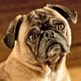 What's on your mind Mongo? by Brenda Reed Buehler - Animals - Dogs Portraits ( pet, family, male, dog, pug, mongo )