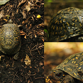 'Leopard' Turtle's shell Collage by Kelly Gamrat - Animals Reptiles ( shell, i like turtles, turtles!, turtules, details, little, nature up close, collage, aw, turtle, cute turtles, nature collage,  )