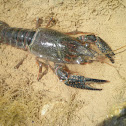 Cangrejo americano. Red swamp crawfish