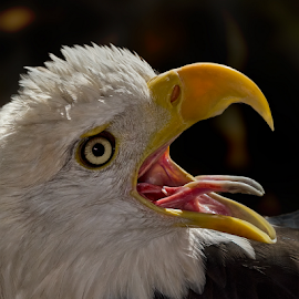 The Scream! by Imran Khan - Animals Birds ( scream, eagle, prey, birds )