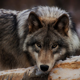 Head resting by Jamie Cournoyer - Animals Other Mammals ( gray wolf, wolf, preserve )