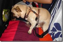 Cinturón canino