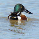 Northern Shoveler Duck (male)