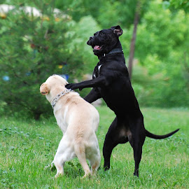 by Maja  Marjanovic - Animals - Dogs Playing