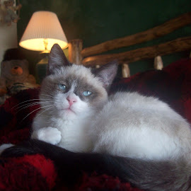 Snuggle Up by Marijo Phelps - Animals - Cats Kittens ( purring, cat, fuzzy baby, blue eyes, snowshoe kitten )