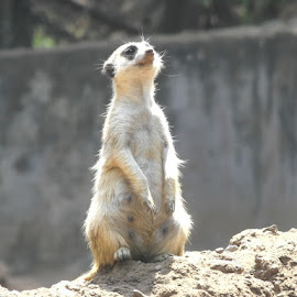 Curious by Liselle Mostert - Novices Only Wildlife ( nature, curiosity, nature reserve#, wildlife, meerkat, animal,  )