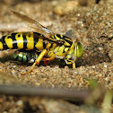 Bembix Sand Wasp