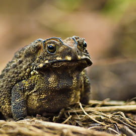 Gamabunta by Kristanto Anggoro - Animals Amphibians ( frog, amphibian, brown, nature close up, backyard )
