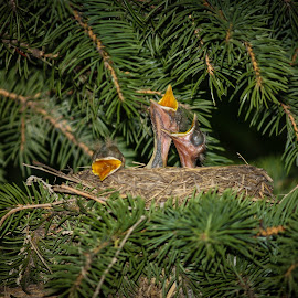 Waiting for Momma by Laura Gardner - Novices Only Wildlife ( babies, nature, outdoors, nest, hatchlings, wildlife, trees, robins, feathers, birds, spring, hungry )