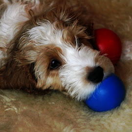 Cockerpoo by Nikki Wilson - Animals - Dogs Puppies ( canine, cockerpoo, puppy, dog, animal )