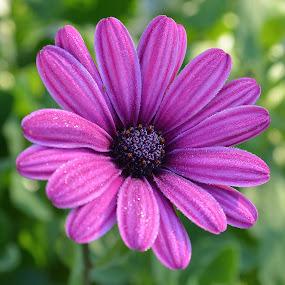Morning Dew Macro by Ed Hanson - Flowers Single Flower ( macro, purple, nature, dew, flower )