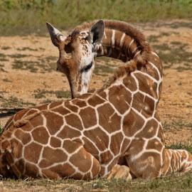 Baby Giraffe by Luanne Bullard Everden - Animals Other ( babies, animals, nature, giraffe, wildlife )