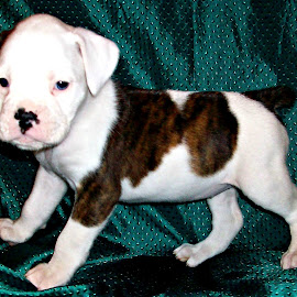 Brindle Boxer Puppy by Cindy Brown - Animals - Dogs Puppies (  )