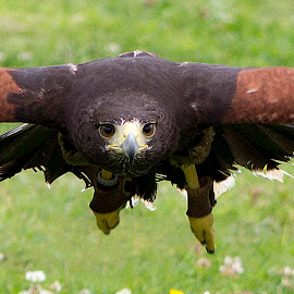 by Dez Green - Animals Birds ( birds of prey, flying, harris hawk, raptor, close up, hawk )