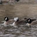 Leucistic Cackling Goose