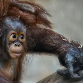 Fist Sized by Michael Milfeit - Animals Other Mammals ( hand, orang utan, jungtier, fist, beschützer, under protection, menschenaffe, pongo, primat )