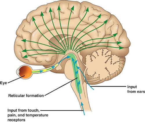 Justabrainmodel Reticular Formation
