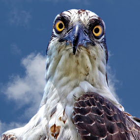You looking at me pal? by Sandy Scott - Animals Birds ( birds of prey, eye contact with an osprey, birds, raptors, osprey,  )