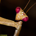 Preying Mantis