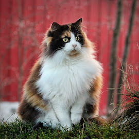 by Jane Bjerkli - Animals - Cats Portraits ( desember1 )