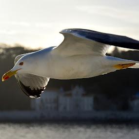 Seagull by Silva Predalič - Animals Birds ( flying, houses, seagull, sunset, sea, turkey,  )