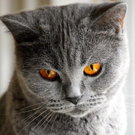 💭 I wonder where my 🎣 is... by Irma Kirschner - Instagram & Mobile iPhone ( britishshorthair, petstagram, instakotik, nikon3200, catstagram, catslovers, mygreatcat, cats, instacat, cats_of_instagram, nikon, cutie, photowall, bestbluefriends, ilovemypet, catslife, meowbox, picstitch, a_world_of_cats, instapet, meow, pawshoutouts, instacats, ilovemycat, catsofinstagram, caturday )