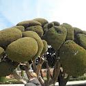 Ciprés mediterráneo. Cypress