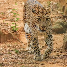 leopard by Ranajit Roy - Animals Lions, Tigers & Big Cats