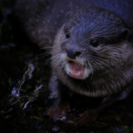 The Otter squicking by Joshua Sujasin - Animals Other Mammals ( balizoo, mammals, animals, otter, vertebrae )