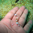 Magnificent Anemone Shrimp
