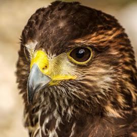 Harris Hawk by Garry Chisholm - Animals Birds ( bird, garry chisholm, nature, harris, wildlife, prey, raptor, hawk )