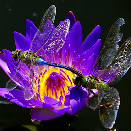 dragonflies on water lily by Slpaok Perez - Animals Insects & Spiders