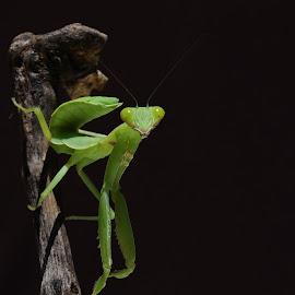 Si Walang by Gigih Ardiantoro - Animals Insects & Spiders ( macro, pixoto indonesia, pixoto, walang, belalang, grasshopper,  )