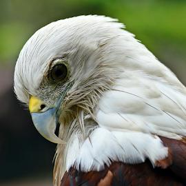 Elang Jawa by Sigit Purnomo - Animals Birds